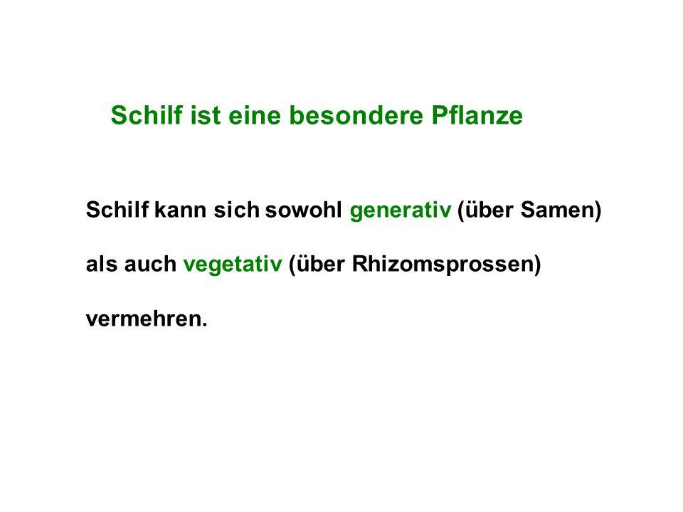Schilf ist eine besondere Pflanze Schilf kann sich sowohl generativ (über Samen) als auch vegetativ (über Rhizomsprossen) vermehren.