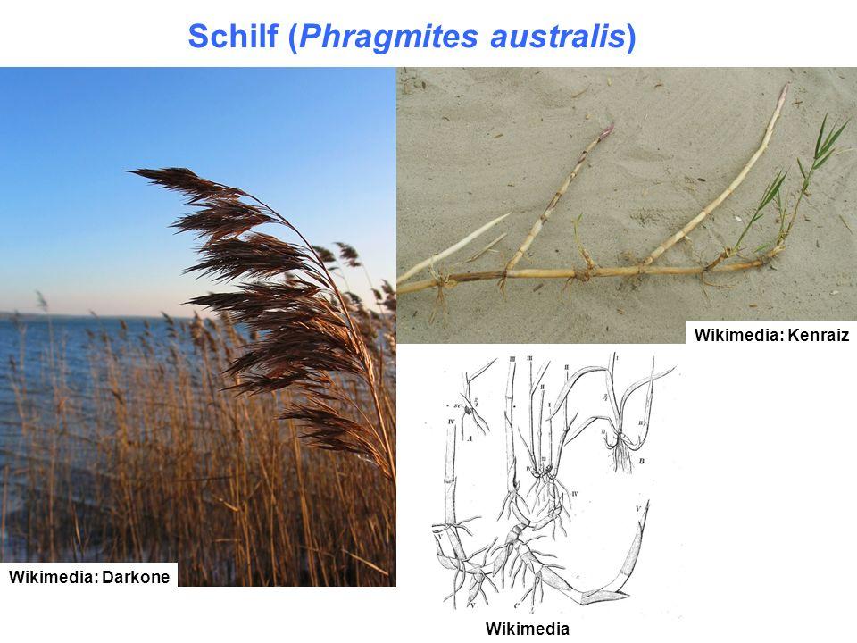 Wikimedia: Kenraiz Wikimedia: Darkone Wikimedia Schilf (Phragmites australis)