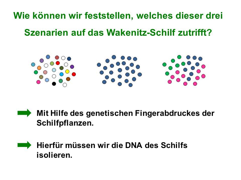 Wie können wir feststellen, welches dieser drei Szenarien auf das Wakenitz-Schilf zutrifft? Mit Hilfe des genetischen Fingerabdruckes der Schilfpflanz
