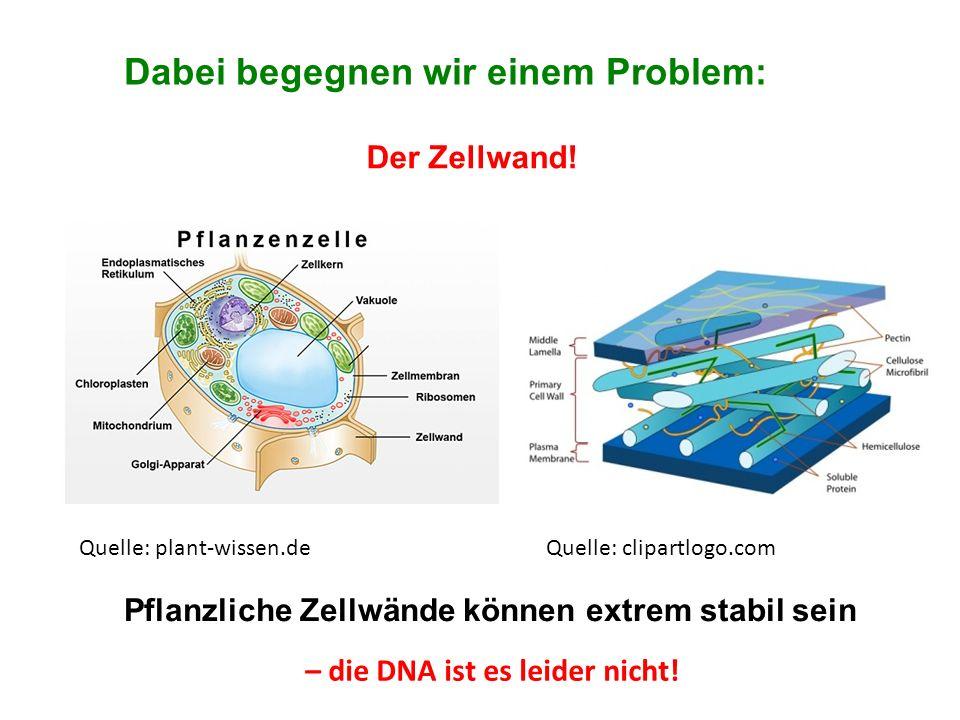 Dabei begegnen wir einem Problem: Der Zellwand! Pflanzliche Zellwände können extrem stabil sein – die DNA ist es leider nicht! Quelle: plant-wissen.de
