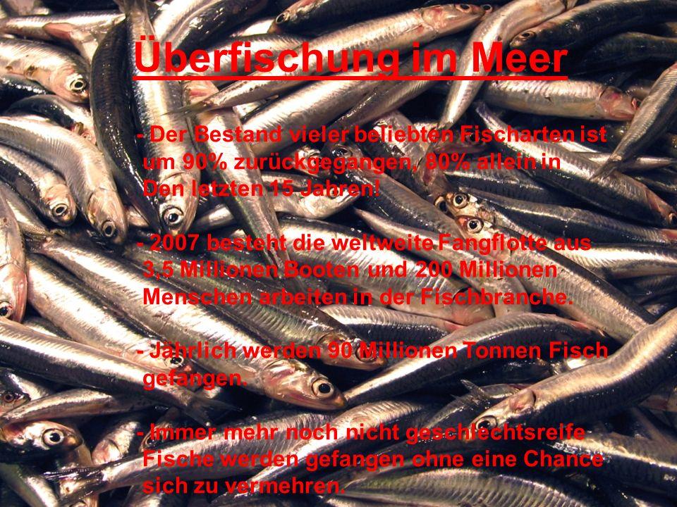 Überfischung im Meer - Der Bestand vieler beliebten Fischarten ist um 90% zurückgegangen, 80% allein in Den letzten 15 Jahren.