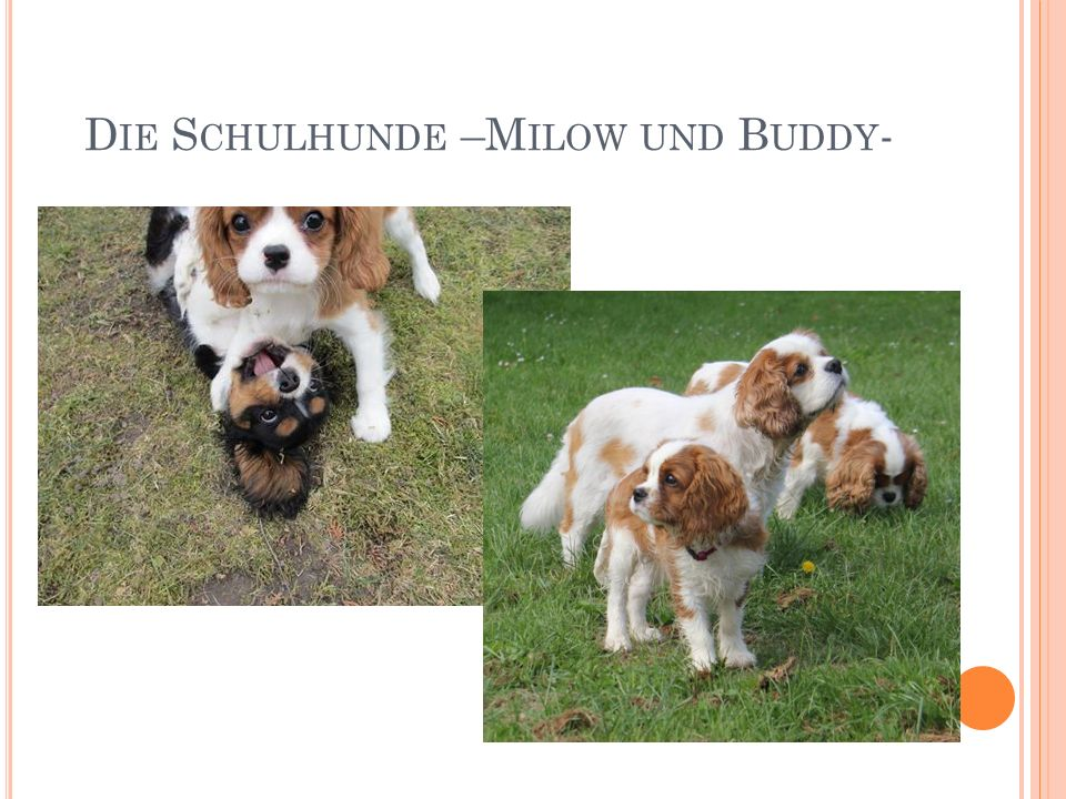 D IE S CHULHUNDE –M ILOW UND B UDDY -