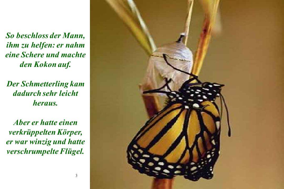 3 3 So beschloss der Mann, ihm zu helfen: er nahm eine Schere und machte den Kokon auf. Der Schmetterling kam dadurch sehr leicht heraus. Aber er hatt