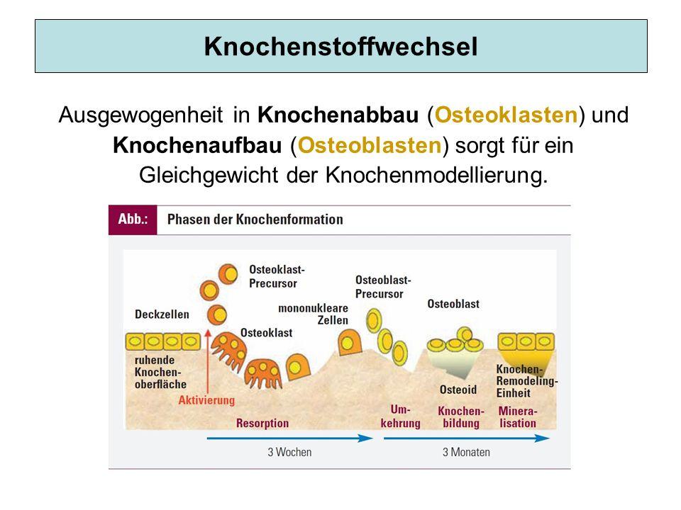 Knochenstoffwechsel Ausgewogenheit in Knochenabbau (Osteoklasten) und Knochenaufbau (Osteoblasten) sorgt für ein Gleichgewicht der Knochenmodellierung