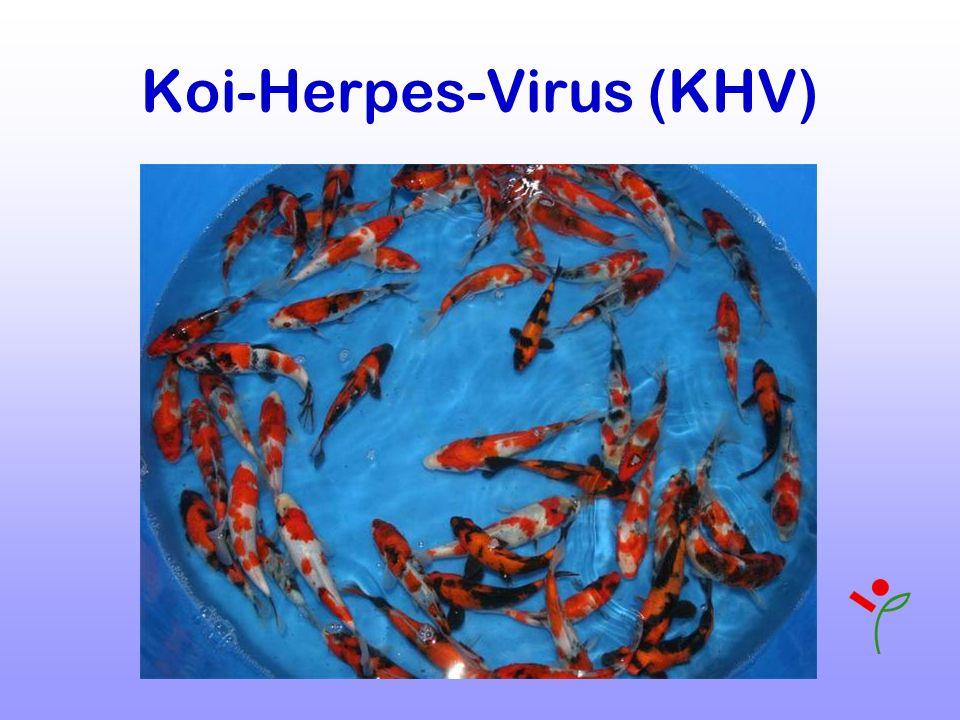 Koi-Herpes-Virus (KHV)