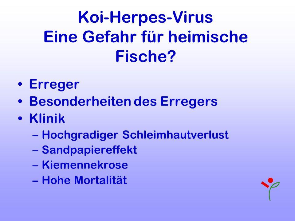 Koi-Herpes-Virus Eine Gefahr für heimische Fische? Erreger Besonderheiten des Erregers Klinik –Hochgradiger Schleimhautverlust –Sandpapiereffekt –Kiem