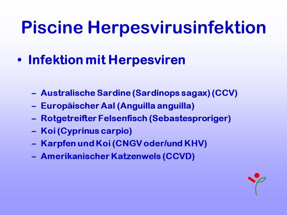 Piscine Herpesvirusinfektion Infektion mit Herpesviren –Australische Sardine (Sardinops sagax) (CCV) –Europäischer Aal (Anguilla anguilla) –Rotgetreif