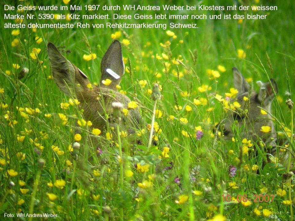 AJFAJF Foto: WH Andrea Weber Die Geiss wurde im Mai 1997 durch WH Andrea Weber bei Klosters mit der weissen Marke Nr.