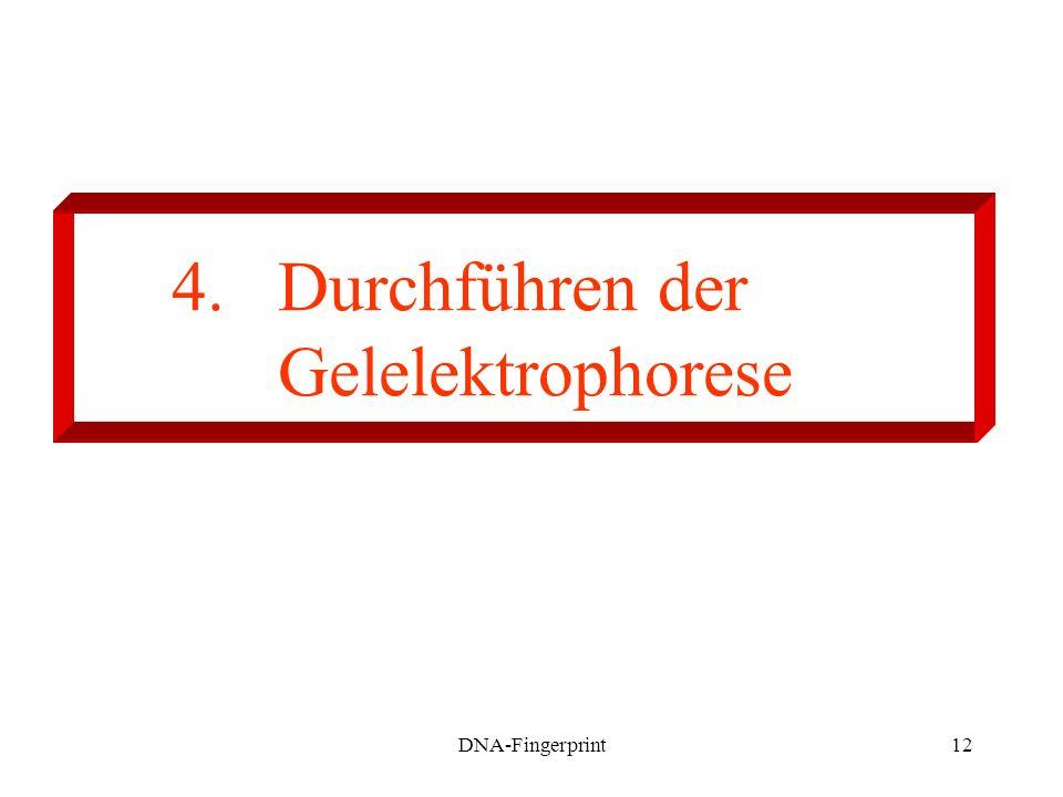 DNA-Fingerprint12 4. Durchführen der Gelelektrophorese