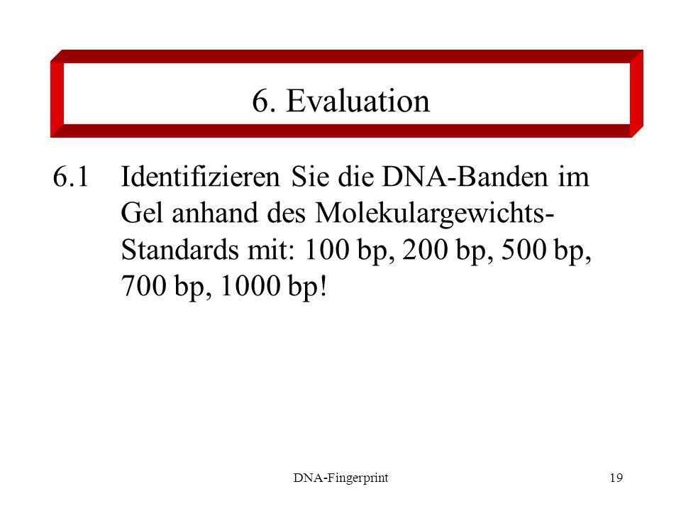 DNA-Fingerprint19 6. Evaluation 6.1 Identifizieren Sie die DNA-Banden im Gel anhand des Molekulargewichts- Standards mit: 100 bp, 200 bp, 500 bp, 700