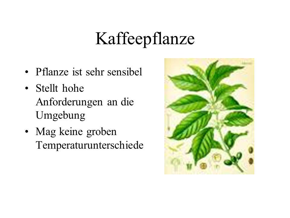 Kaffeepflanze Pflanze ist sehr sensibel Stellt hohe Anforderungen an die Umgebung Mag keine groben Temperaturunterschiede