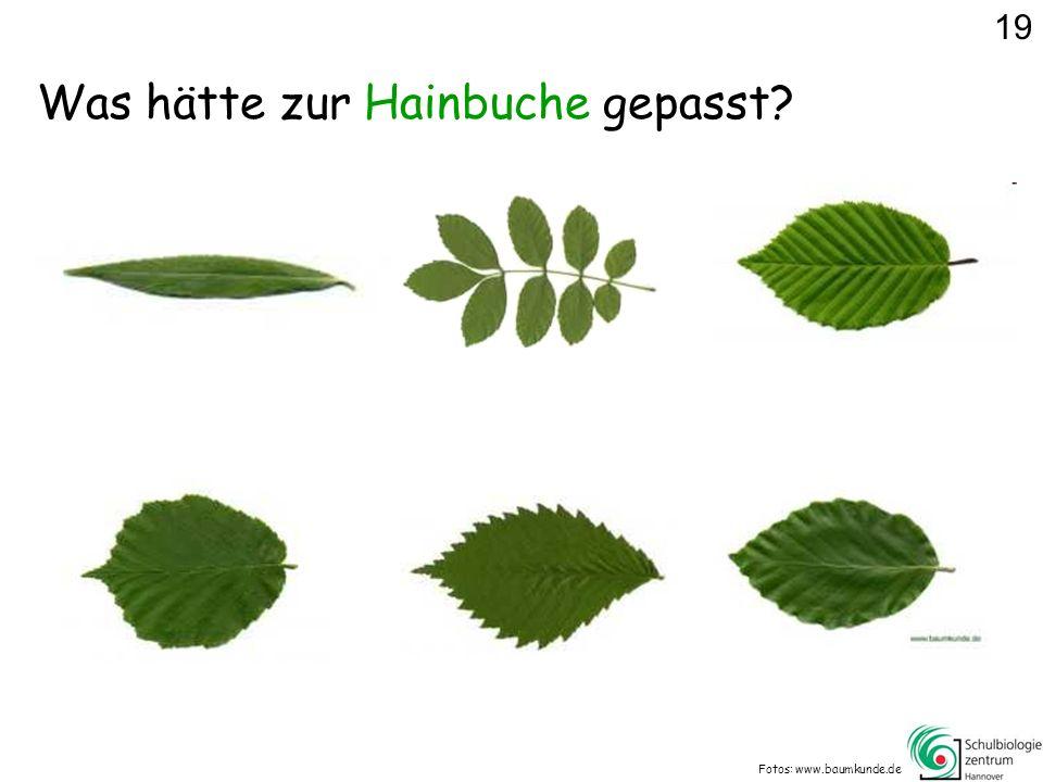 Was hätte zur Hainbuche gepasst? Fotos: www.baumkunde.de 19