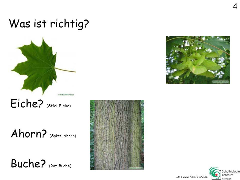 Was ist richtig.Fotos: www.baumkunde.de Eiche. (Stiel-Eiche) Buche.