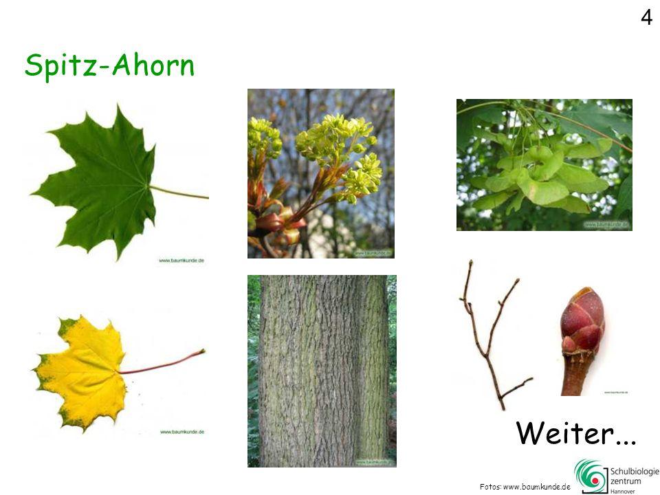 Spitz-Ahorn Fotos: www.baumkunde.de Weiter... 4