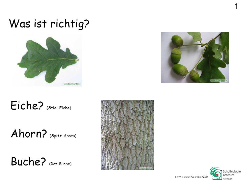 Stiel-Eiche Fotos: www.baumkunde.de Weiter... 1