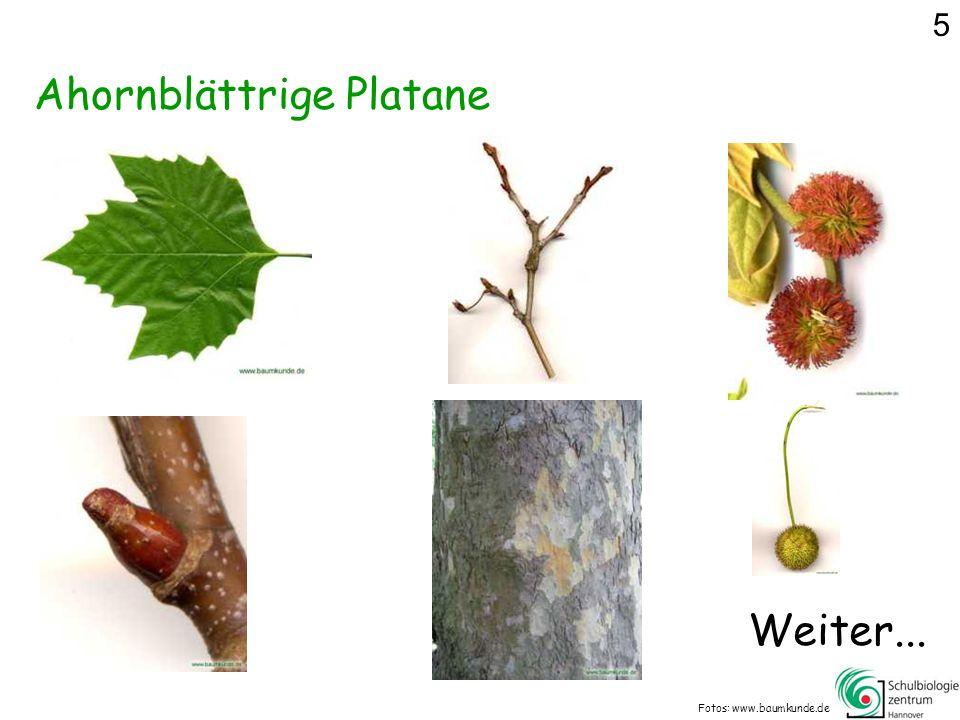 Ahornblättrige Platane Fotos: www.baumkunde.de Weiter... 5