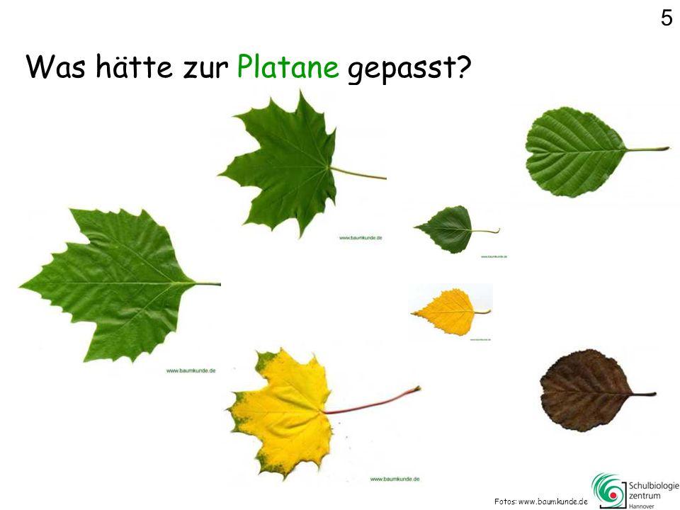 Was hätte zur Platane gepasst? Fotos: www.baumkunde.de 5