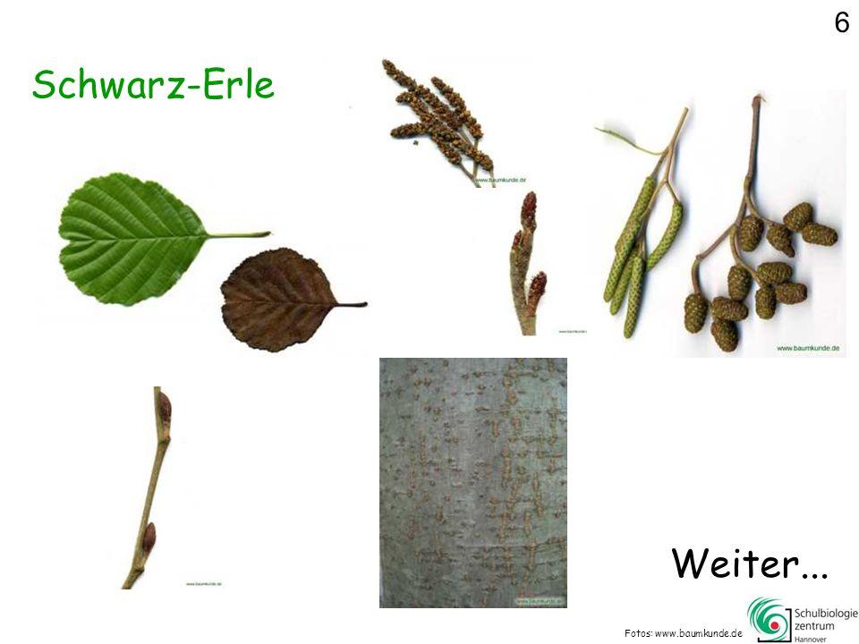 Schwarz-Erle Fotos: www.baumkunde.de Weiter... 6