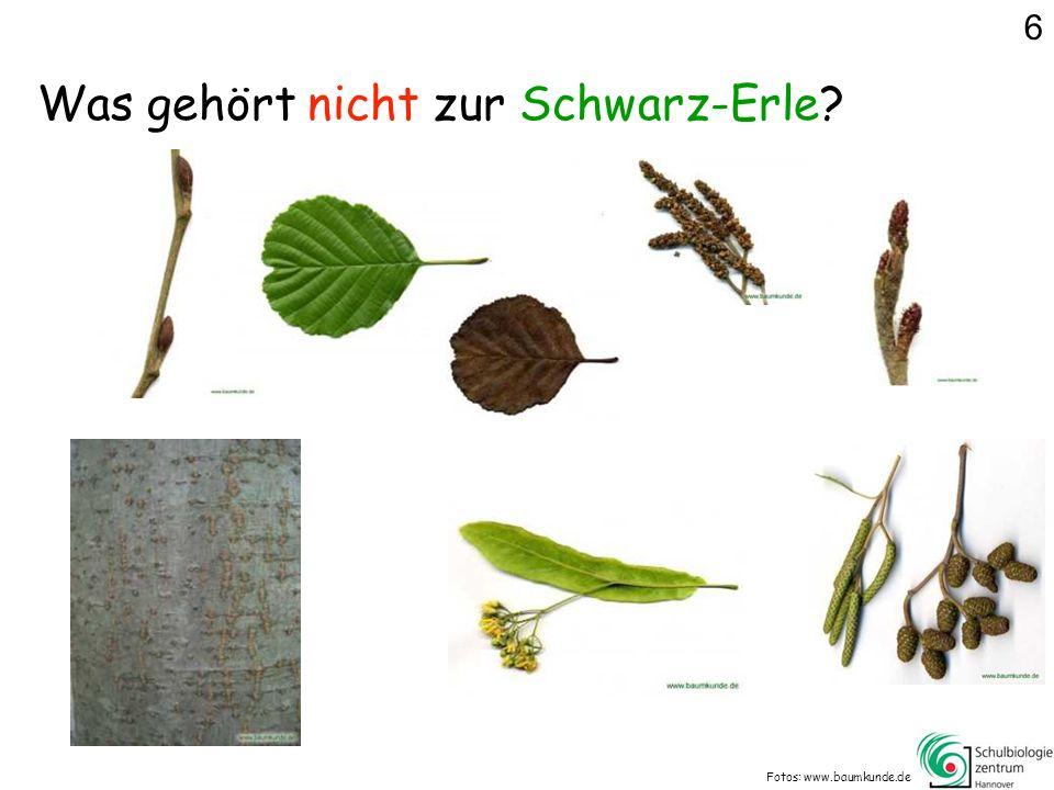 Was gehört nicht zur Schwarz-Erle? Fotos: www.baumkunde.de 6