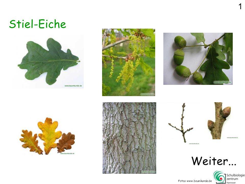 Was gehört nicht zur Zitter-Pappel? Fotos: www.baumkunde.de 9