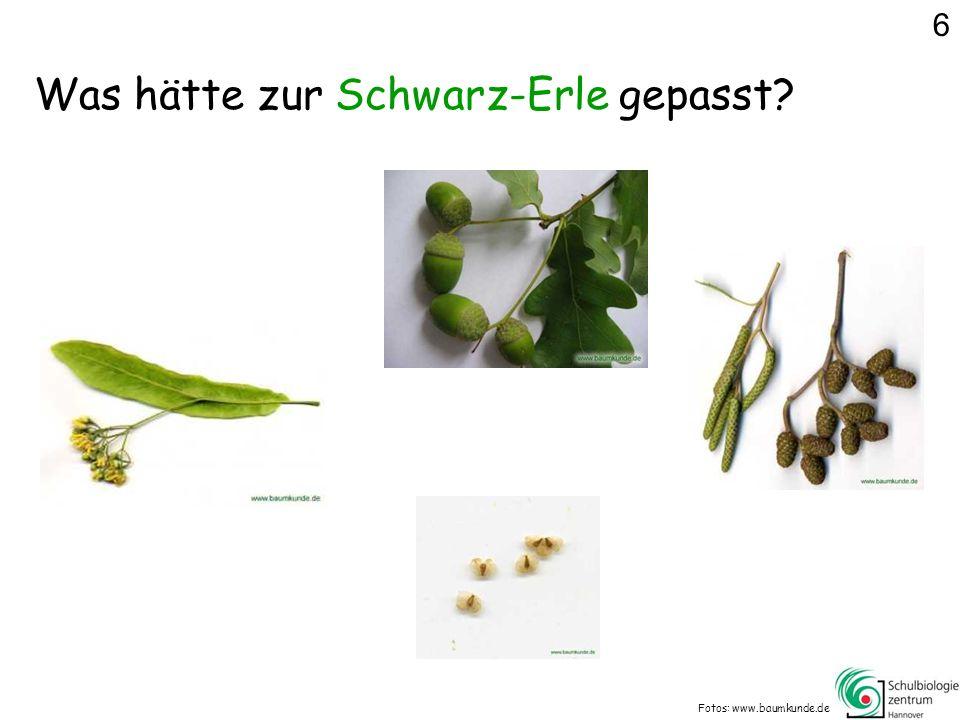 Was hätte zur Schwarz-Erle gepasst? Fotos: www.baumkunde.de 6