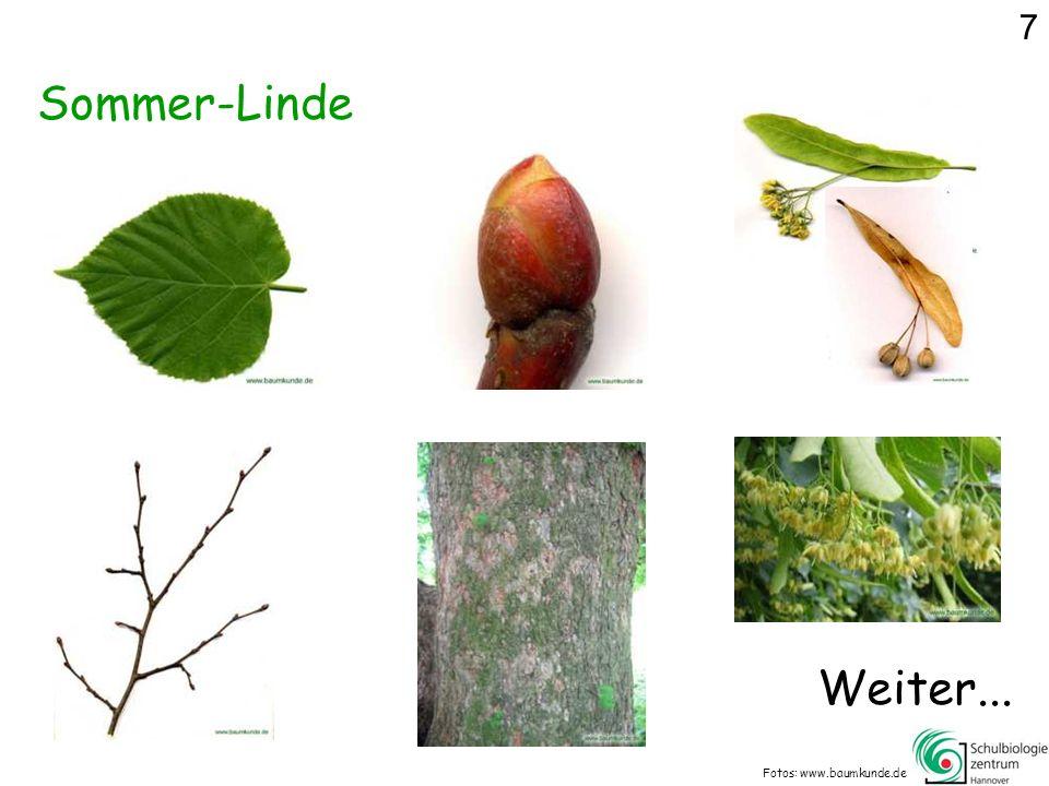 Sommer-Linde Fotos: www.baumkunde.de Weiter... 7