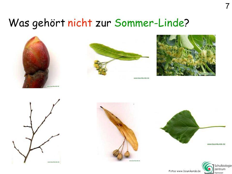 Was gehört nicht zur Sommer-Linde? Fotos: www.baumkunde.de 7