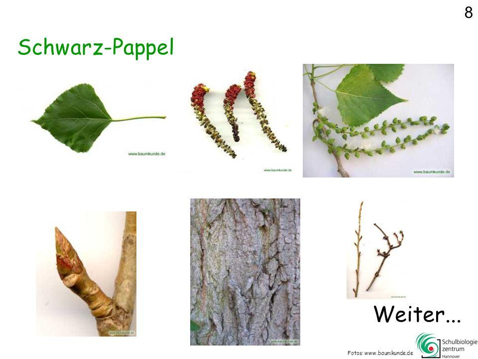 Schwarz-Pappel Fotos: www.baumkunde.de Weiter... 8