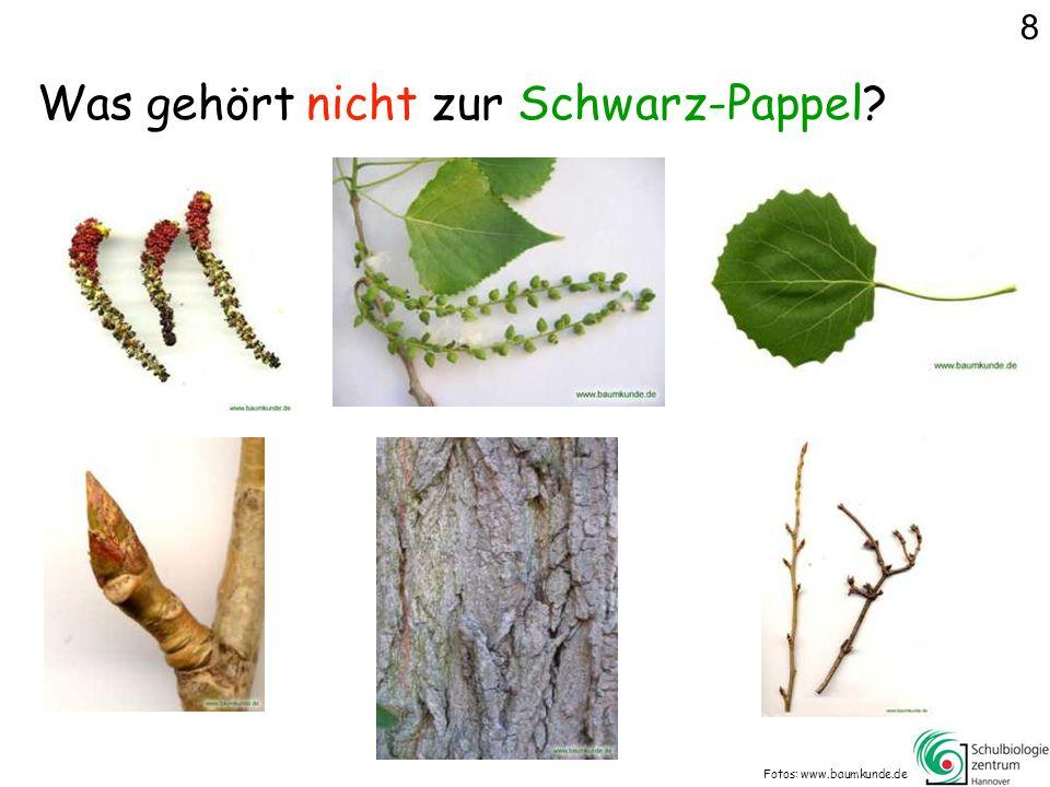 Was gehört nicht zur Schwarz-Pappel? Fotos: www.baumkunde.de 8