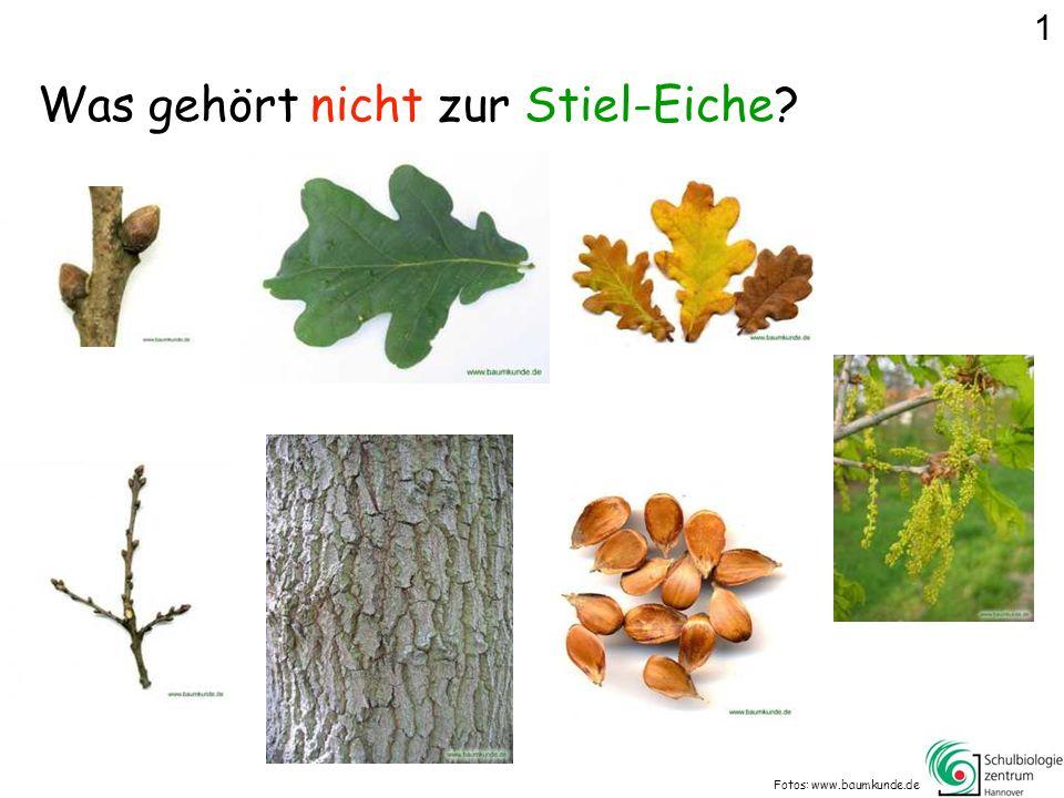 Was gehört nicht zur Stiel-Eiche? Fotos: www.baumkunde.de 1