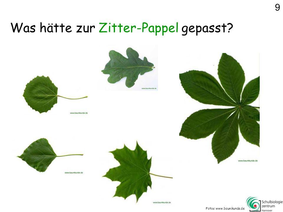 Was hätte zur Zitter-Pappel gepasst? Fotos: www.baumkunde.de 9