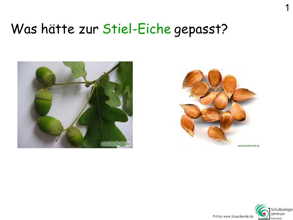 Was hätte zur Stiel-Eiche gepasst? Fotos: www.baumkunde.de 1
