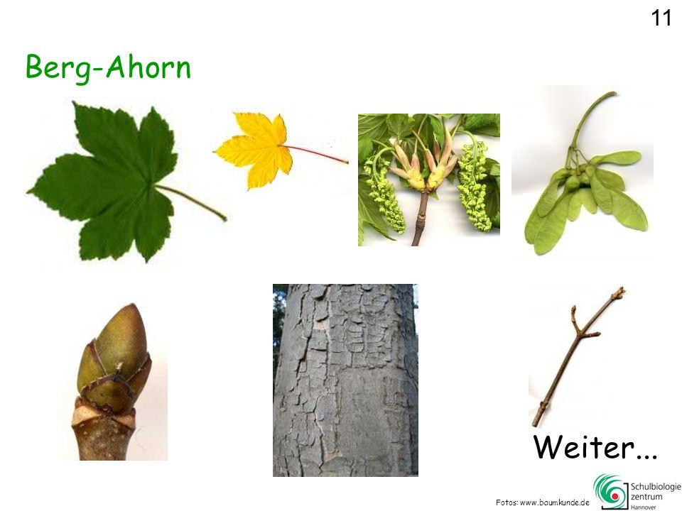 Berg-Ahorn Fotos: www.baumkunde.de 11 Weiter...