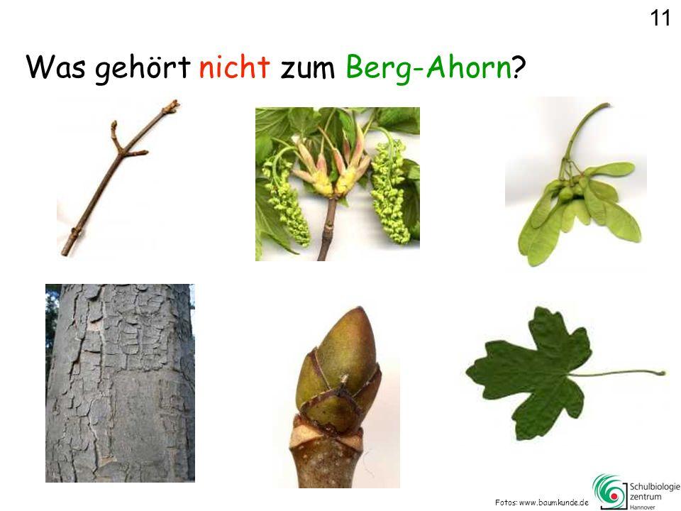 Was gehört nicht zum Berg-Ahorn? Fotos: www.baumkunde.de 11