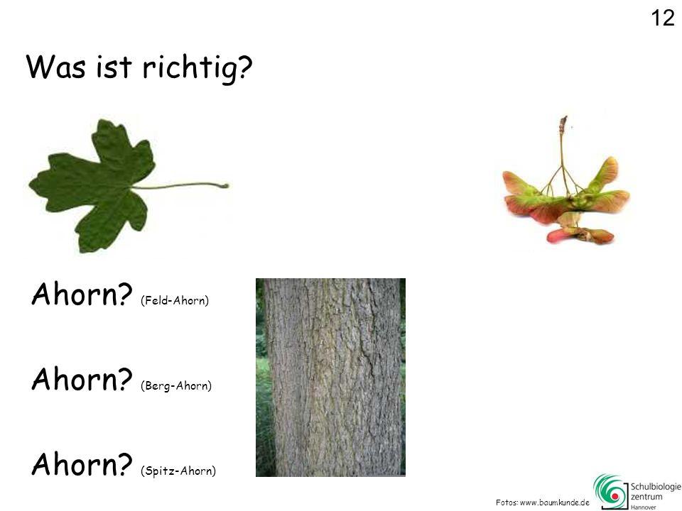Was ist richtig.Fotos: www.baumkunde.de Ahorn. (Feld-Ahorn) Ahorn.