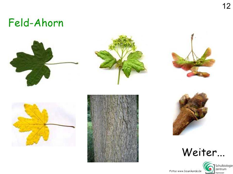Feld-Ahorn Fotos: www.baumkunde.de 12 Weiter...