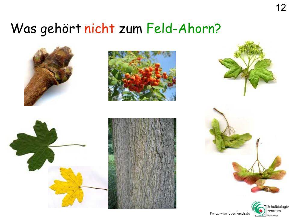 Was gehört nicht zum Feld-Ahorn? Fotos: www.baumkunde.de 12