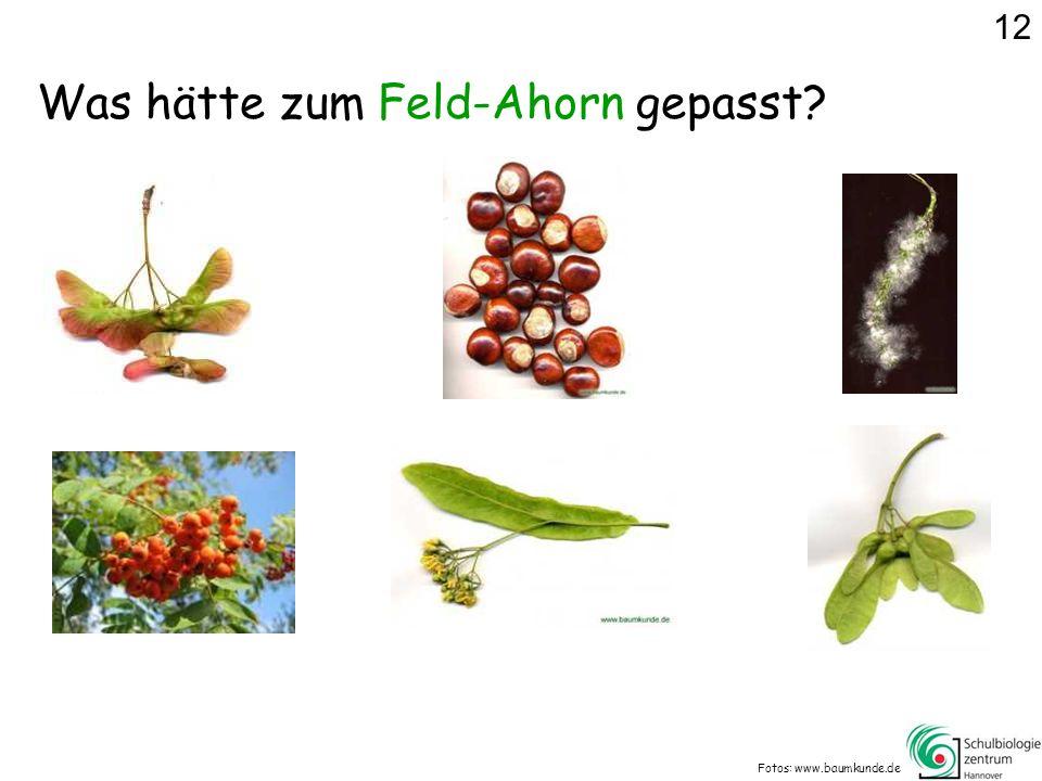 Was hätte zum Feld-Ahorn gepasst? Fotos: www.baumkunde.de 12