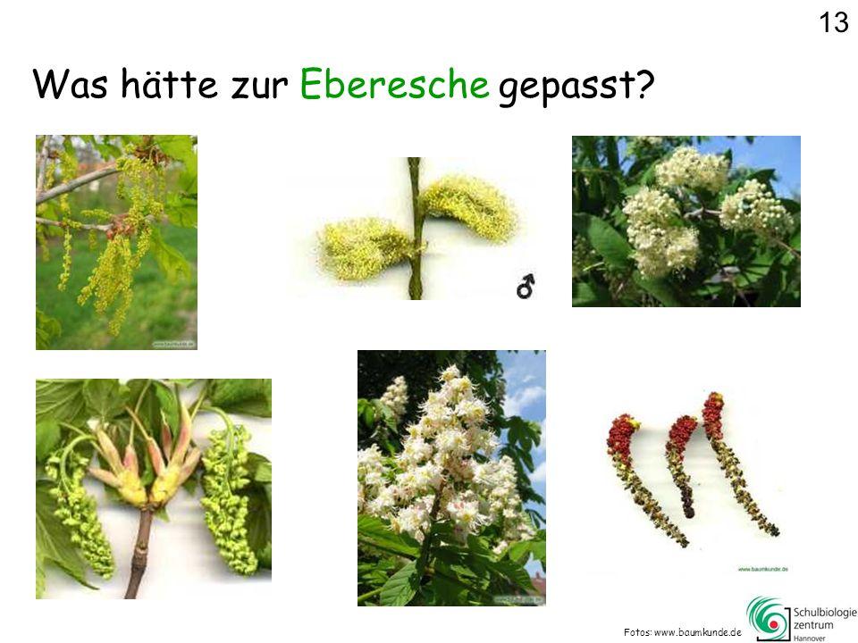 Was hätte zur Eberesche gepasst? Fotos: www.baumkunde.de 13
