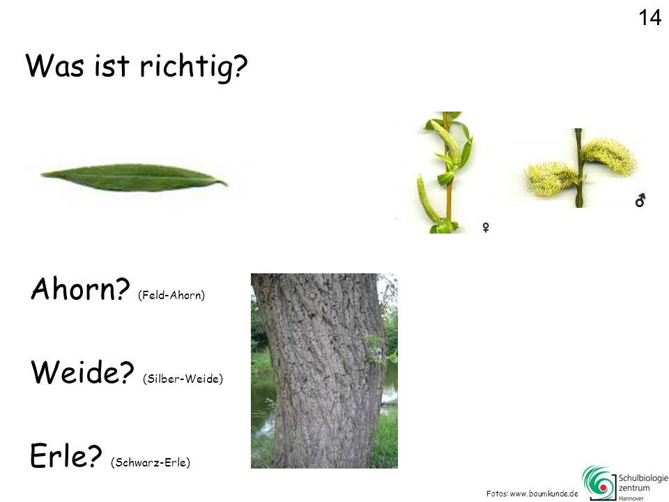 Was ist richtig.Fotos: www.baumkunde.de Ahorn. (Feld-Ahorn) Erle.