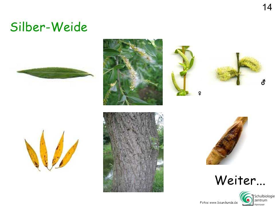 Silber-Weide Fotos: www.baumkunde.de Weiter... 14
