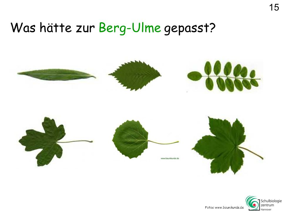 Was hätte zur Berg-Ulme gepasst? Fotos: www.baumkunde.de 15