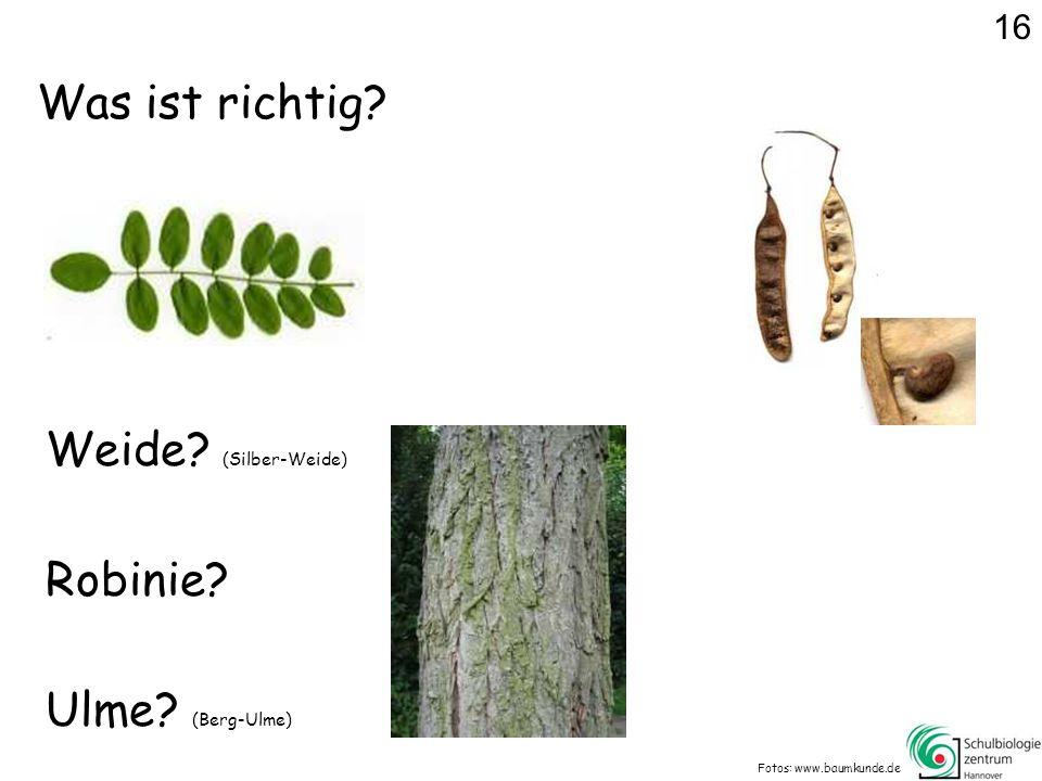 Was ist richtig? Fotos: www.baumkunde.de Weide? (Silber-Weide) Ulme? (Berg-Ulme) Robinie? 16