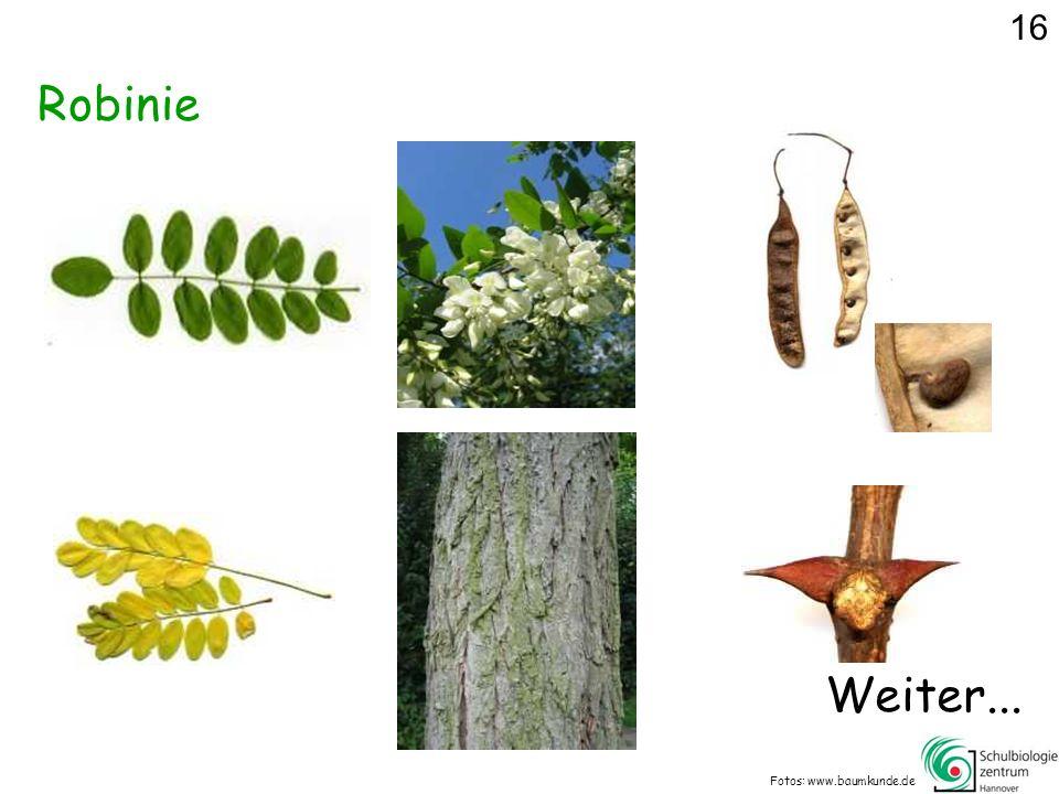 Robinie Fotos: www.baumkunde.de 16 Weiter...