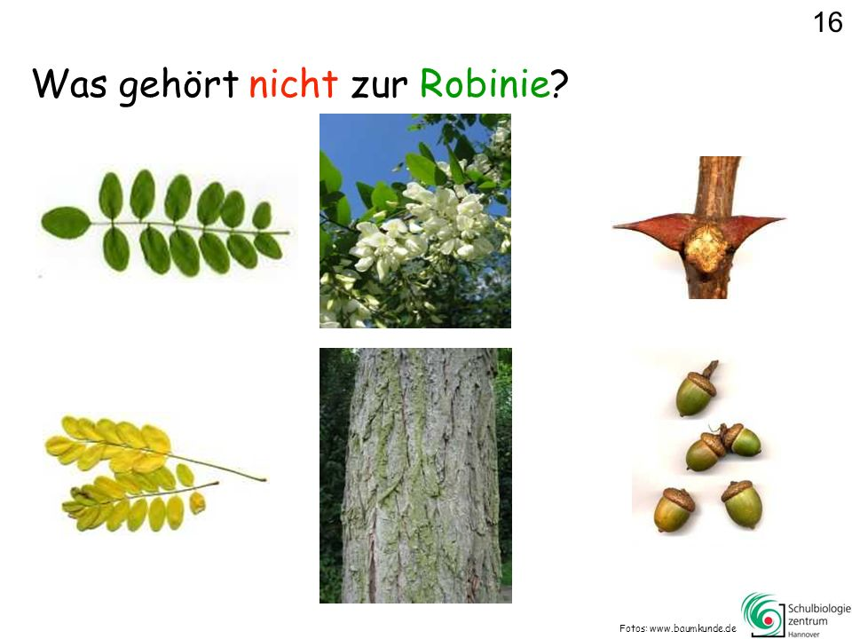 Was gehört nicht zur Robinie? Fotos: www.baumkunde.de 16