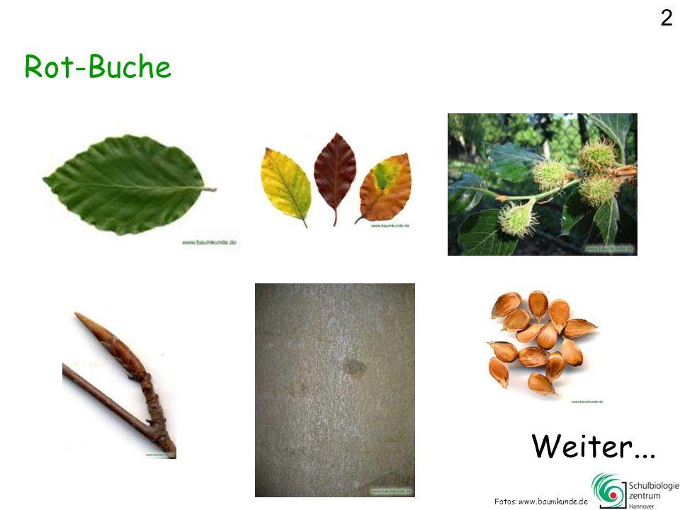 Was gehört nicht zur Silber-Weide? Fotos: www.baumkunde.de 14
