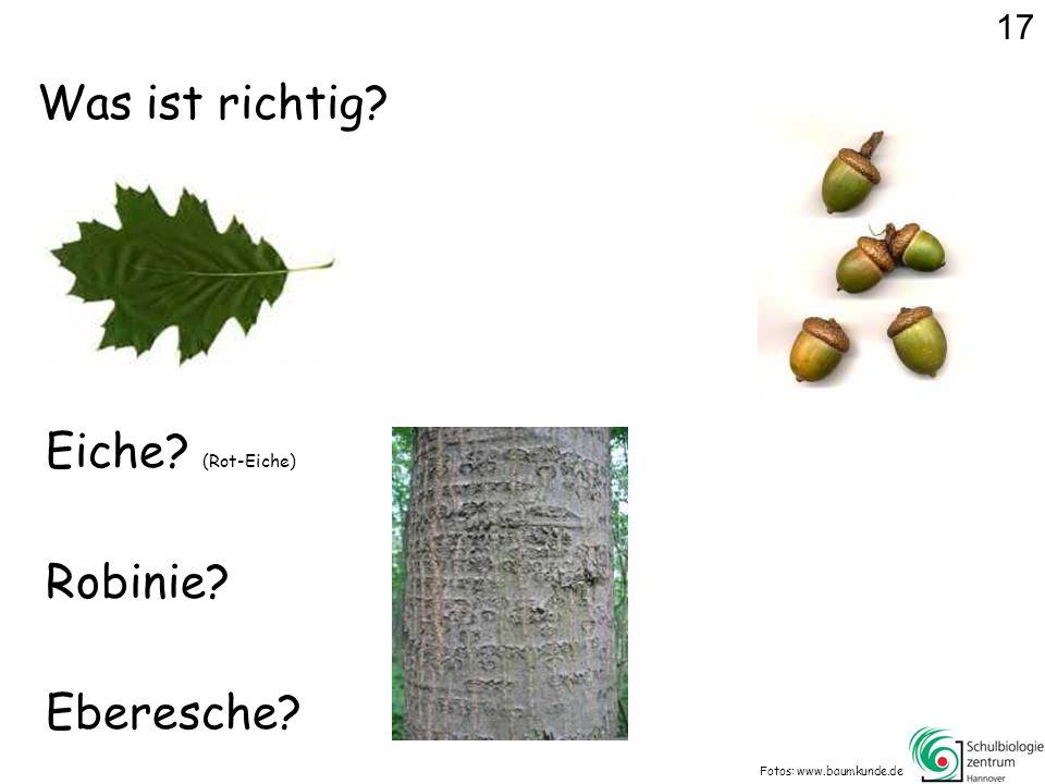 Was ist richtig? Fotos: www.baumkunde.de Eiche? (Rot-Eiche) Eberesche? Robinie? 17