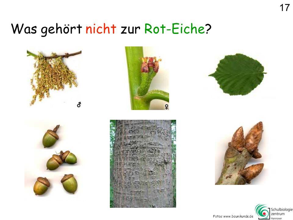 Was gehört nicht zur Rot-Eiche? Fotos: www.baumkunde.de 17