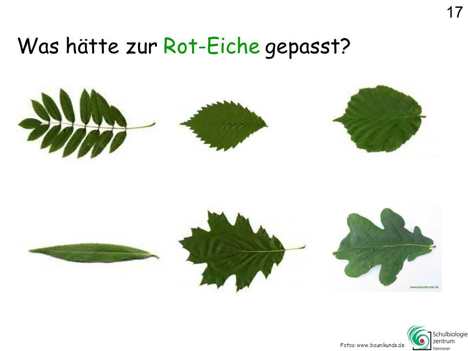 Was hätte zur Rot-Eiche gepasst? Fotos: www.baumkunde.de 17