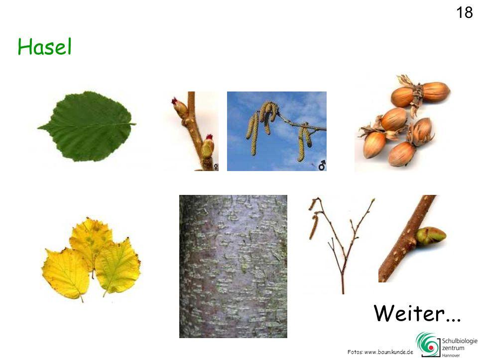 Hasel Fotos: www.baumkunde.de 18 Weiter...